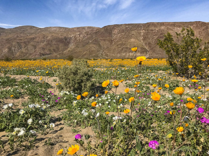 image showing the desert super bloom